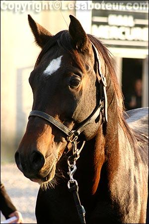 Photos de chevaux shagya dahoman etalon du haras des cournalieres - Salon du cheval montpellier ...